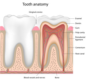 San Jose Dentist Human Tooth